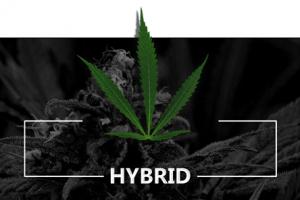 Hybrid Cannabis Clones.
