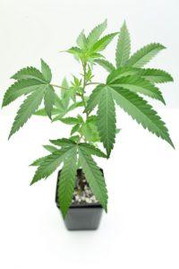 Blue Kush Cannabis Clone Maine