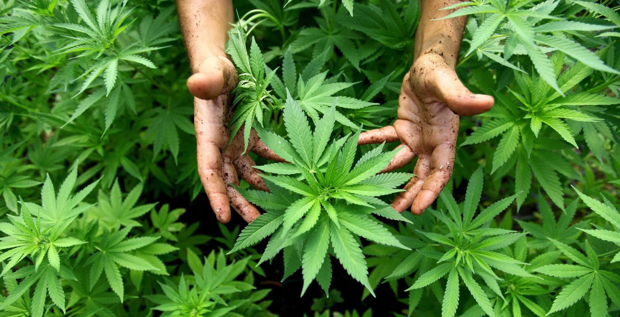 Maine Marijuana Pot Clones and Seeds