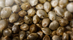 maine-cannabis-seeds-and-clones