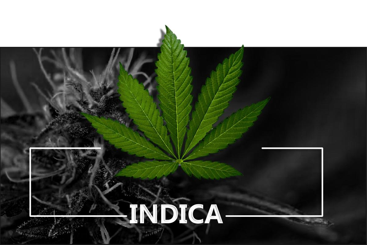 indica-cannabis-clones-maine