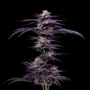purple-punch--cannabis-clones-808-super-nova-gardens-maine
