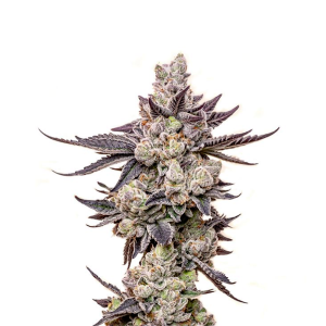 seed-junky-wedding-cake-clones-for-sale-maine-jungle-boys