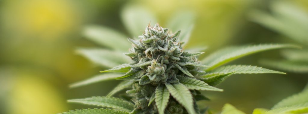 gorilla glue cannabis clones growing information