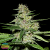 mass-medical-strains-cannabis-seeds-prayer-pupil-for-sale-clones