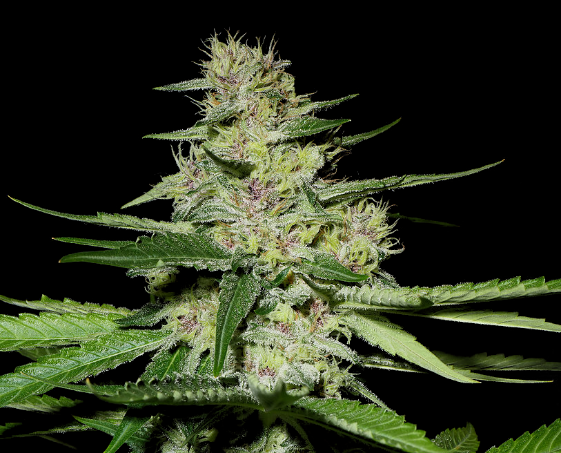 mass-medical-strains-cannabis-seeds-prayer-pupil-for-sale