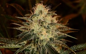 chemdawg-cannabis-clone-tips-for-growing-chem-dog-4