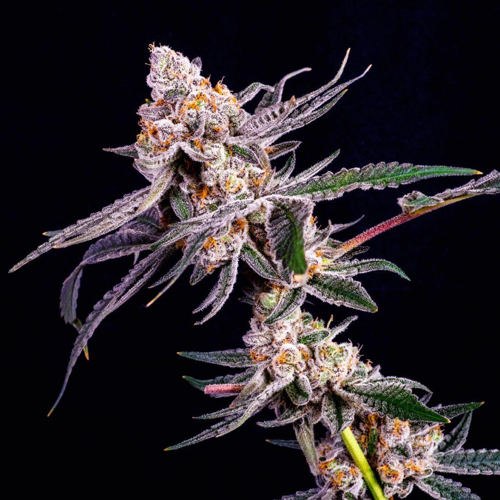 slurricane-cannabis-clones-for-sale-maine-michigan-california-mass