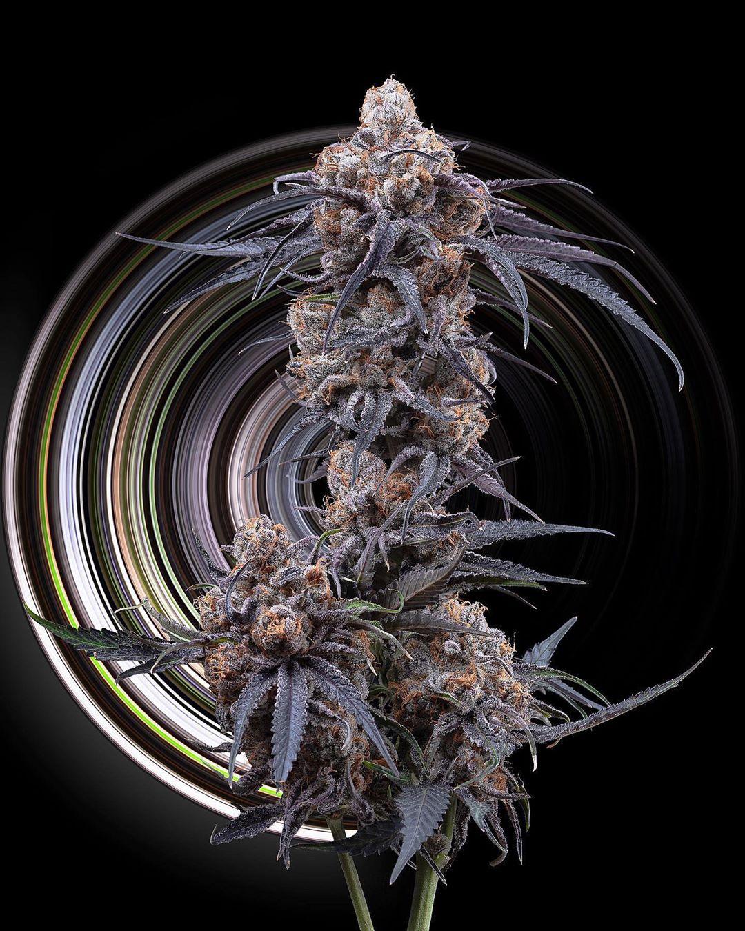 Purple_Punch_cannabis_clones_maine_bud_flowering@surfacearea999